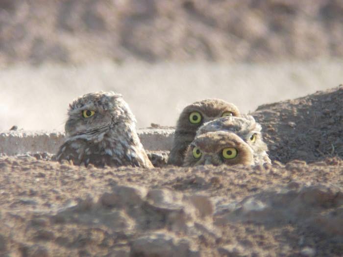 Burrowing Owls.
