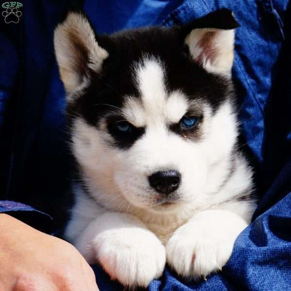 Sasha Siberian Husky Puppy For Sale in Ohio