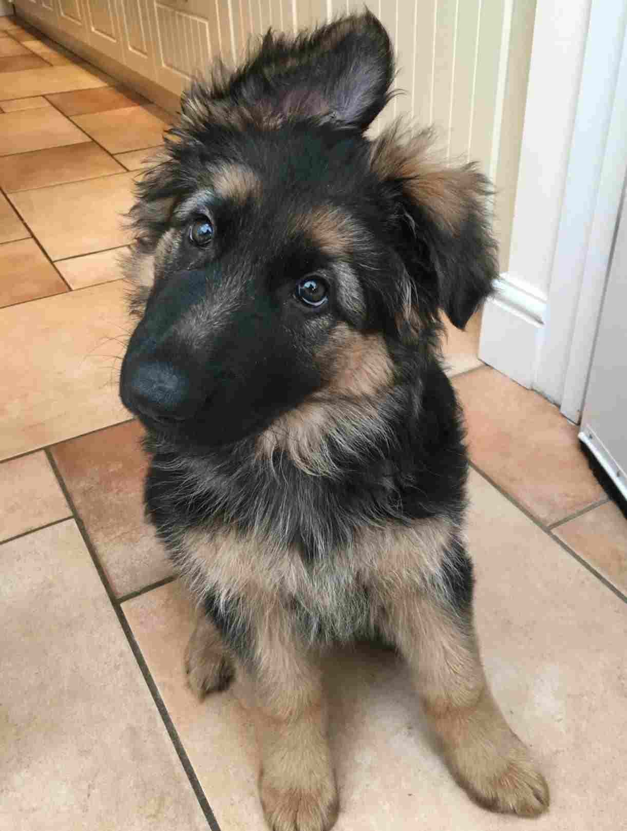 German Shepherd Puppies German Shepherd Puppies Dogs Dog