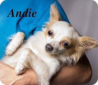 Baton Rouge La Chihuahua Chinese Crested Mix Meet Andie A Dog For Adoption Chihuahua Chinese Crested Pet Adoption