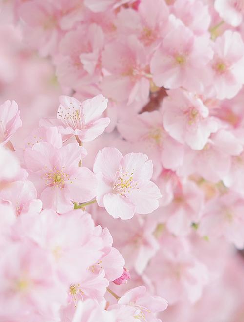 Yuffii Sakura By Jp Scenery Pastel Mood Flowers Beautiful
