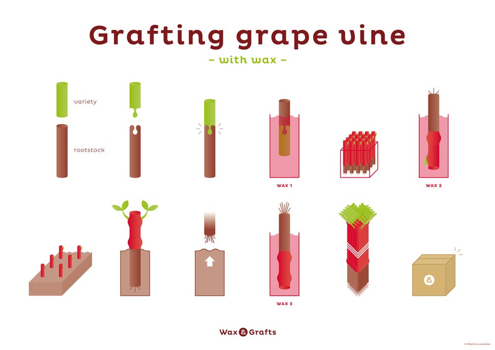 """infographic of """"Graftting grape vine with wax process"""" - Wax & Grafts by Martin Lavielle"""