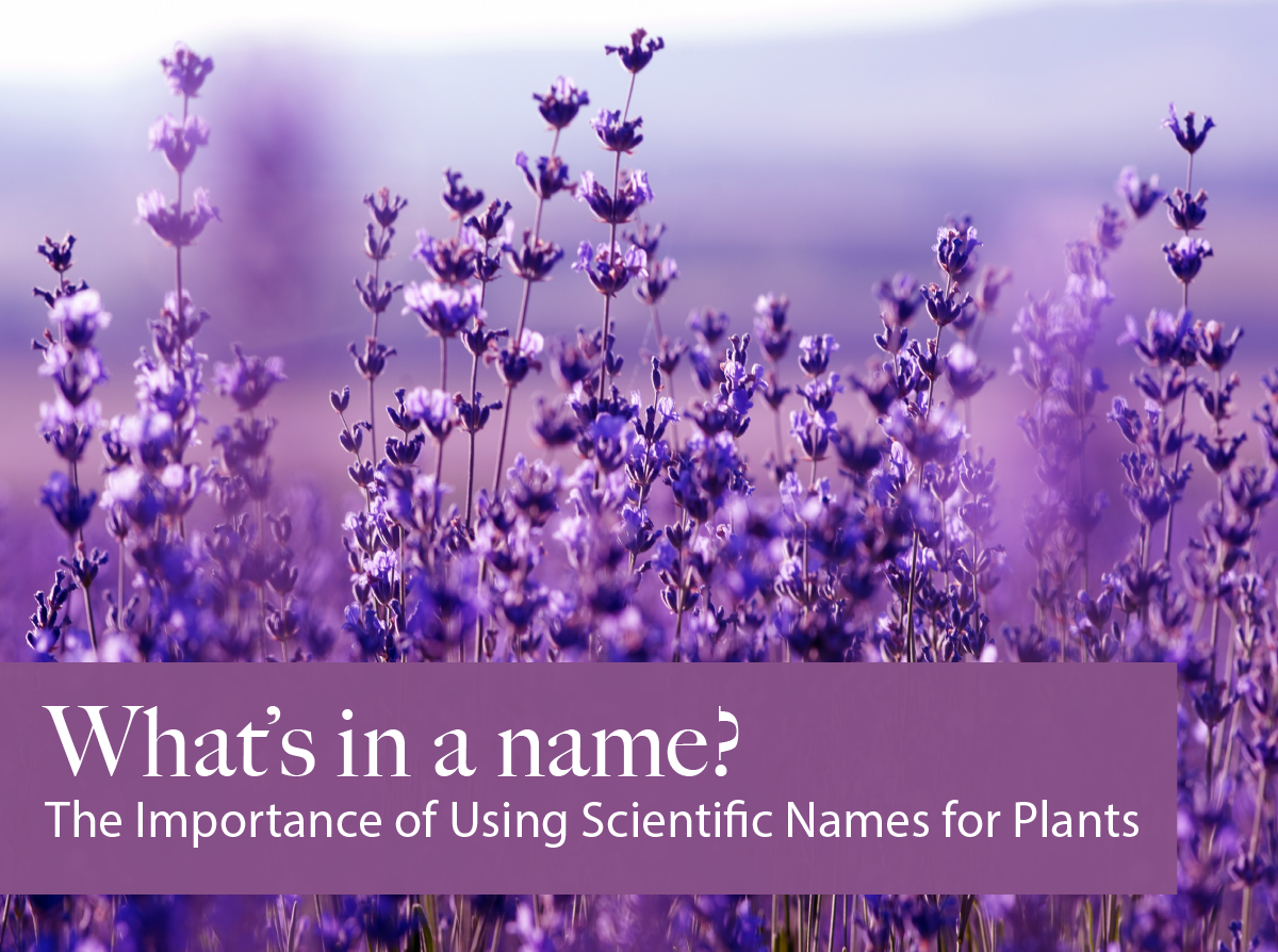 What S In A Name The Importance Of Using Scientific Names For Plants Purple Flowers Wallpaper Flower Aesthetic Purple Flowers