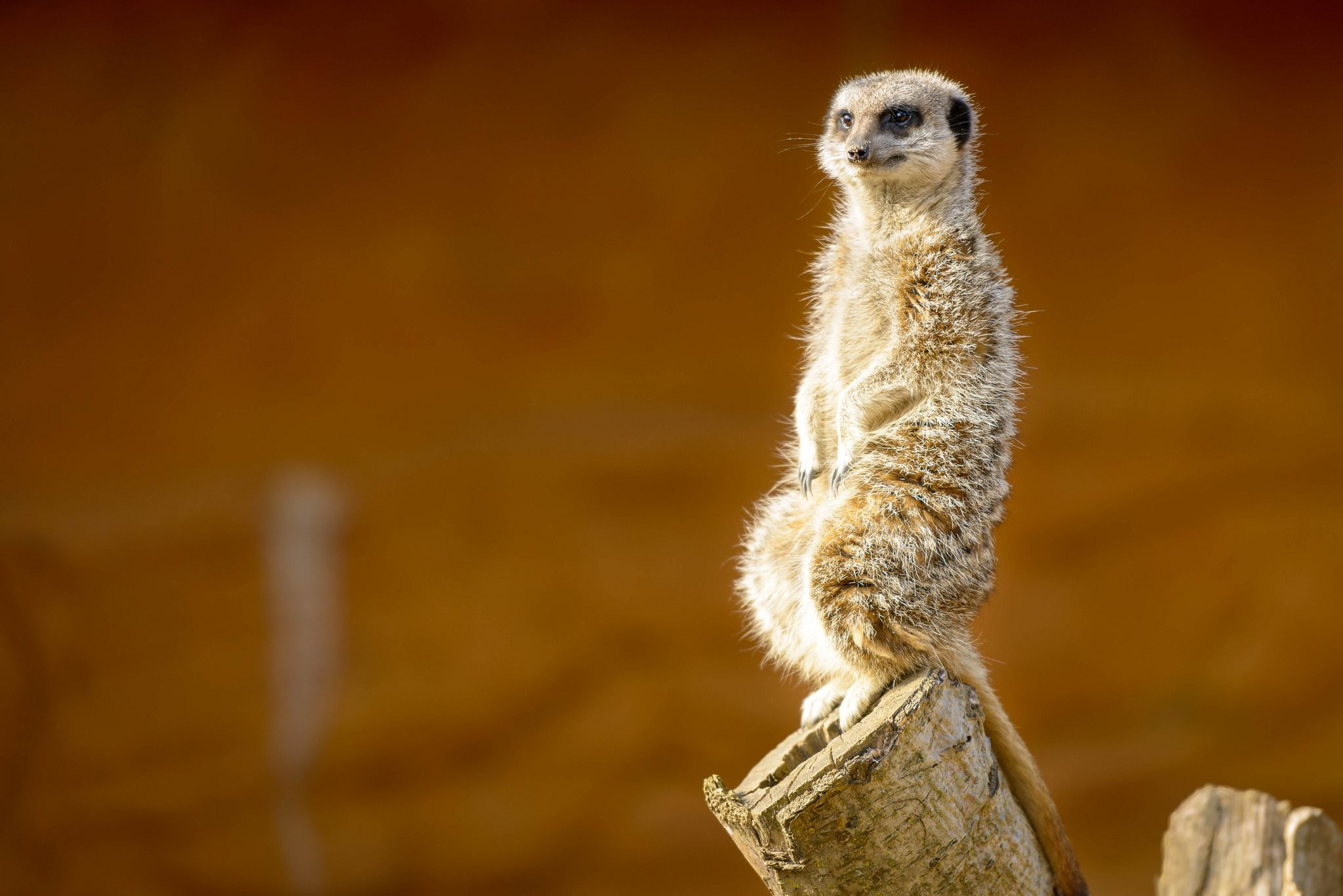 One of the most important #meerkat roles is that of the sentry, or watch guard. One meerkat will stand on its hind legs, scanning the area for predators while the rest of the mob forages. The lookout lets out a distinctive bark to notify the gang to sprint to the nearest tunnel entrance. The sentry is also the first to emerge from the burrow to check if the coast is clear. Crafted Holiday featuring the Kalahari Desert >>  📷: Marcus Saul on Flickr