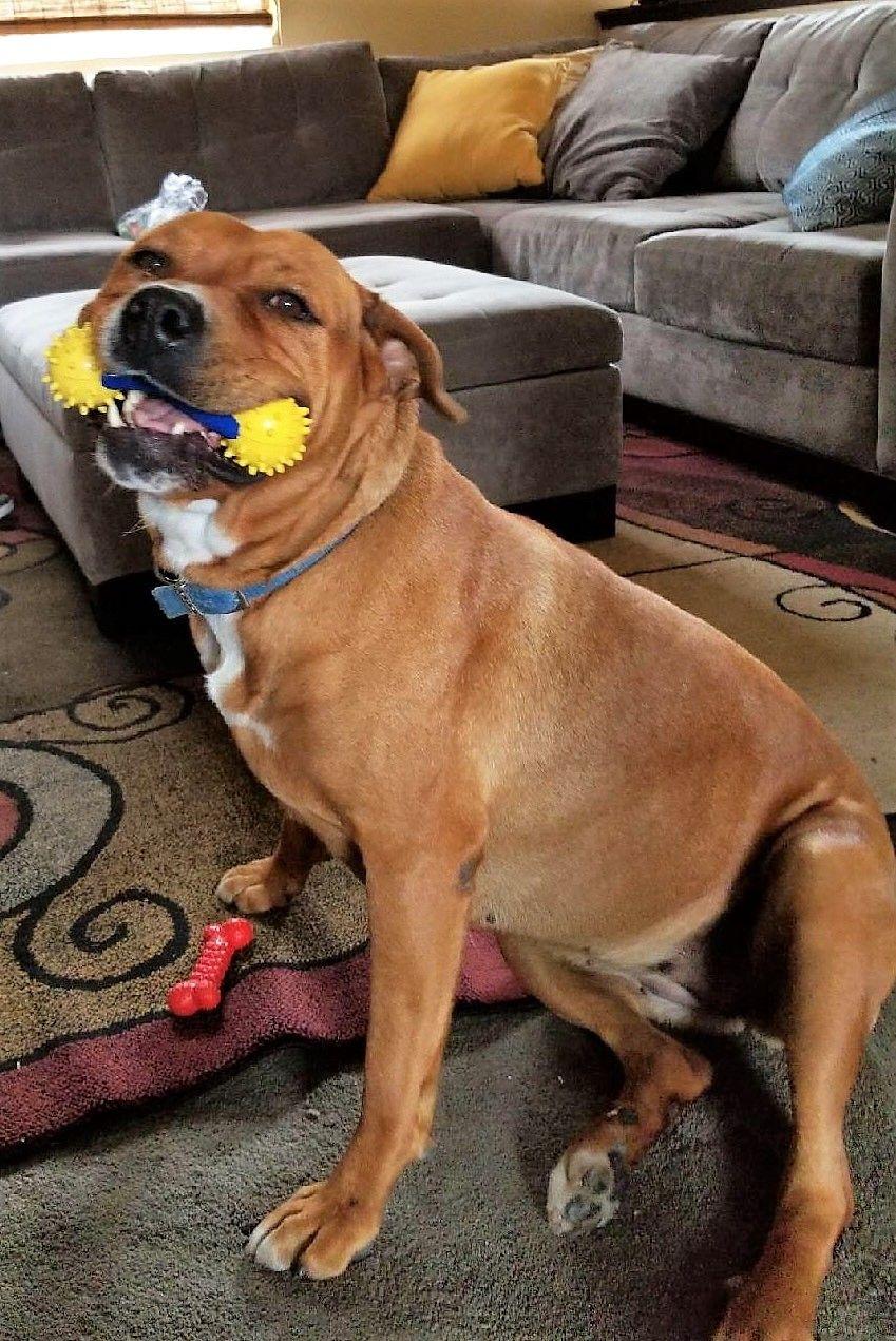Labrottie Dog For Adoption In Seattle Wa Adn 819616 On
