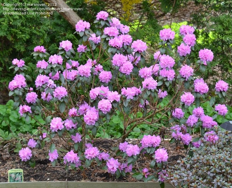 Full Size Picture Of Rhododendron Pjm Rhododendron Year 5