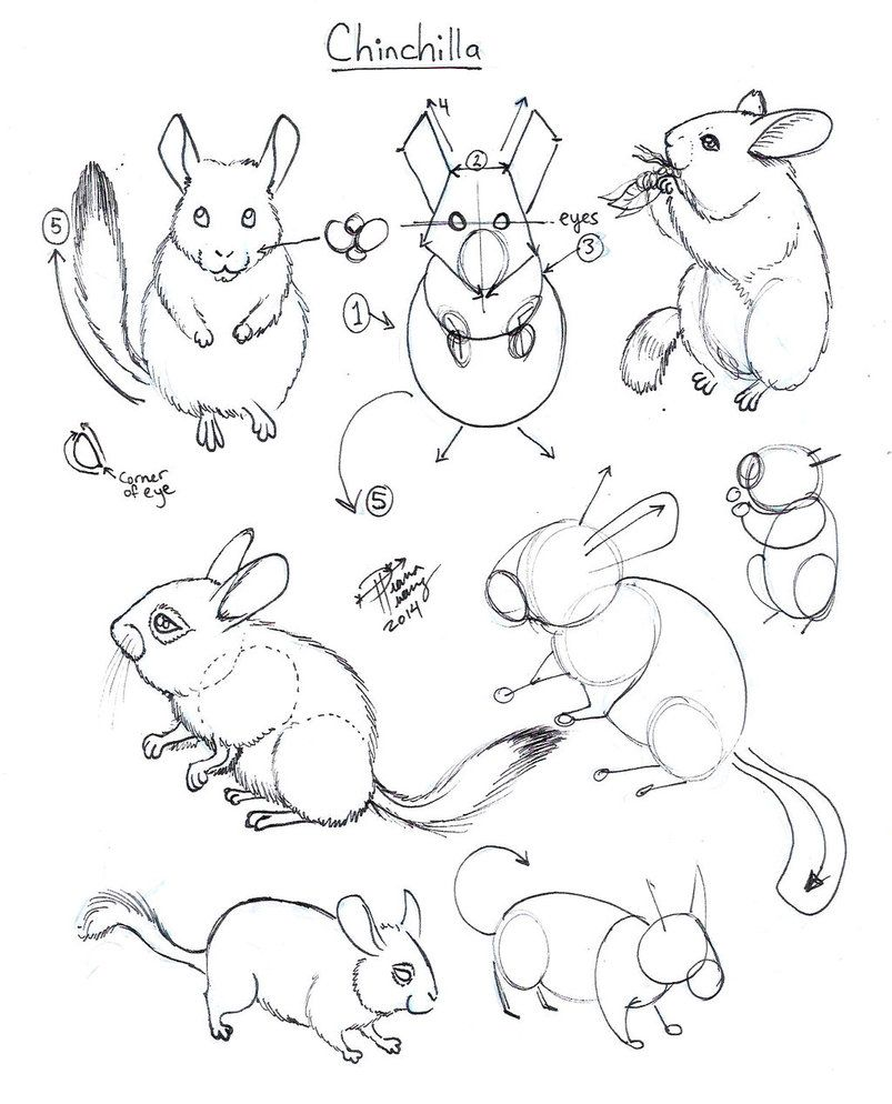 draw chinchilla by diana huang on deviantart