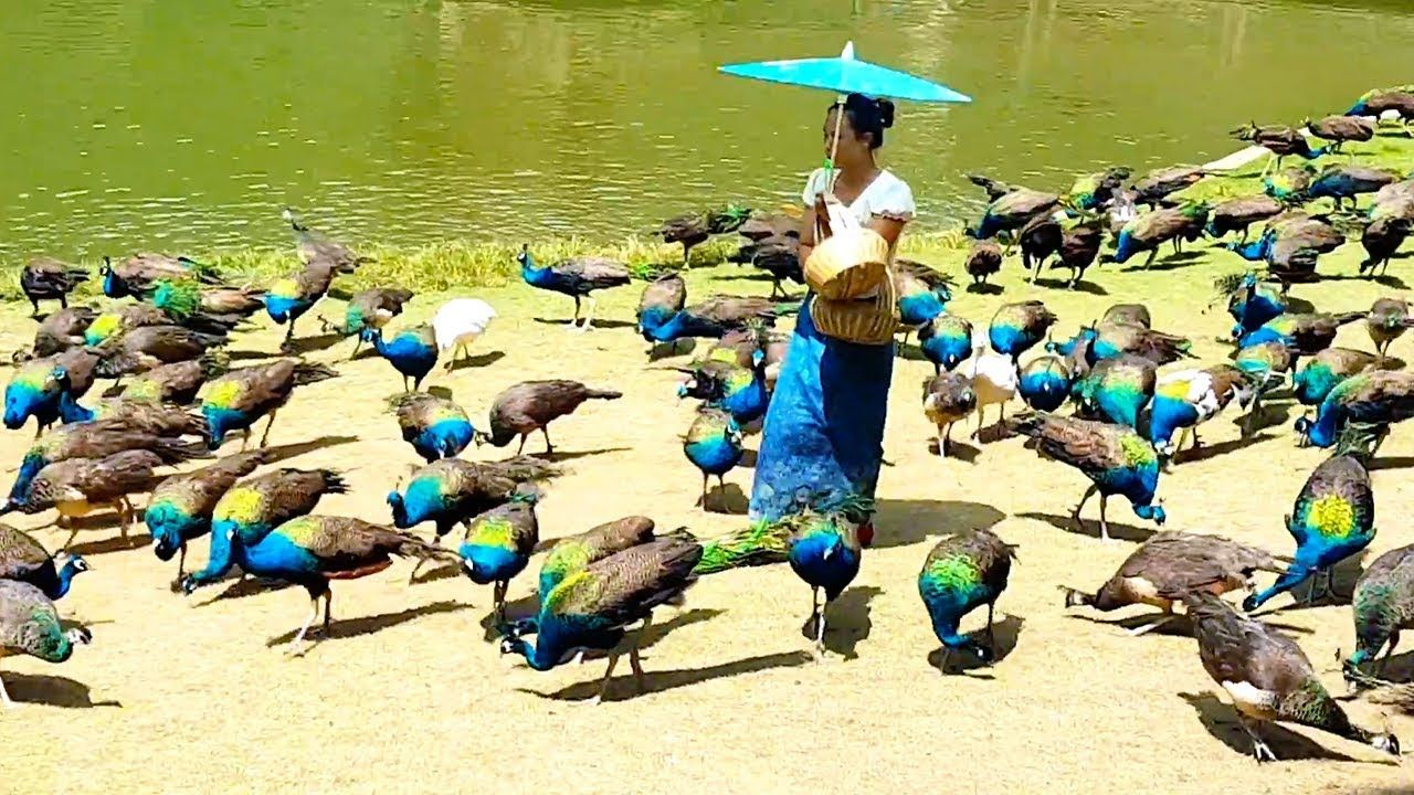 Peacock flying and peacock sound - YouTube | Beautiful and