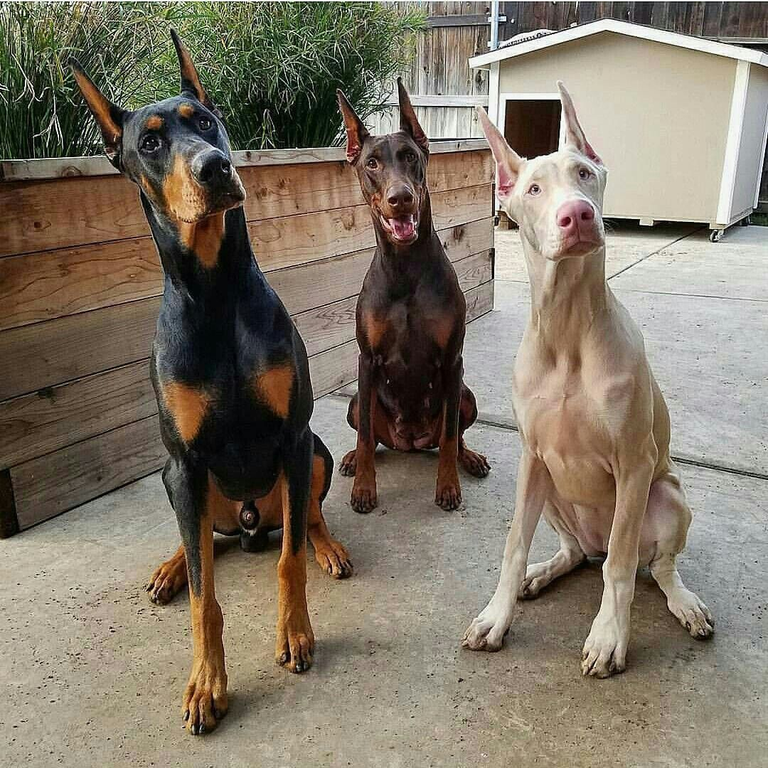 Doberman Doberman Colors Doberman Pinscher Dog Doberman Pinscher