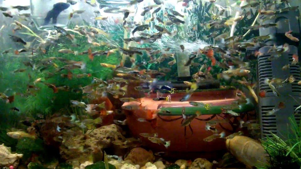 Fish aquarium quotes - Guppies Fish Tank With Laser Light