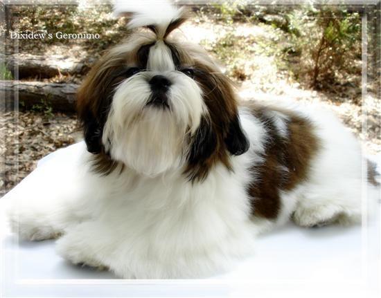 Ga Fl Red And White Black Markings Shih Tzu Puppies In Ga Fl Al Tn