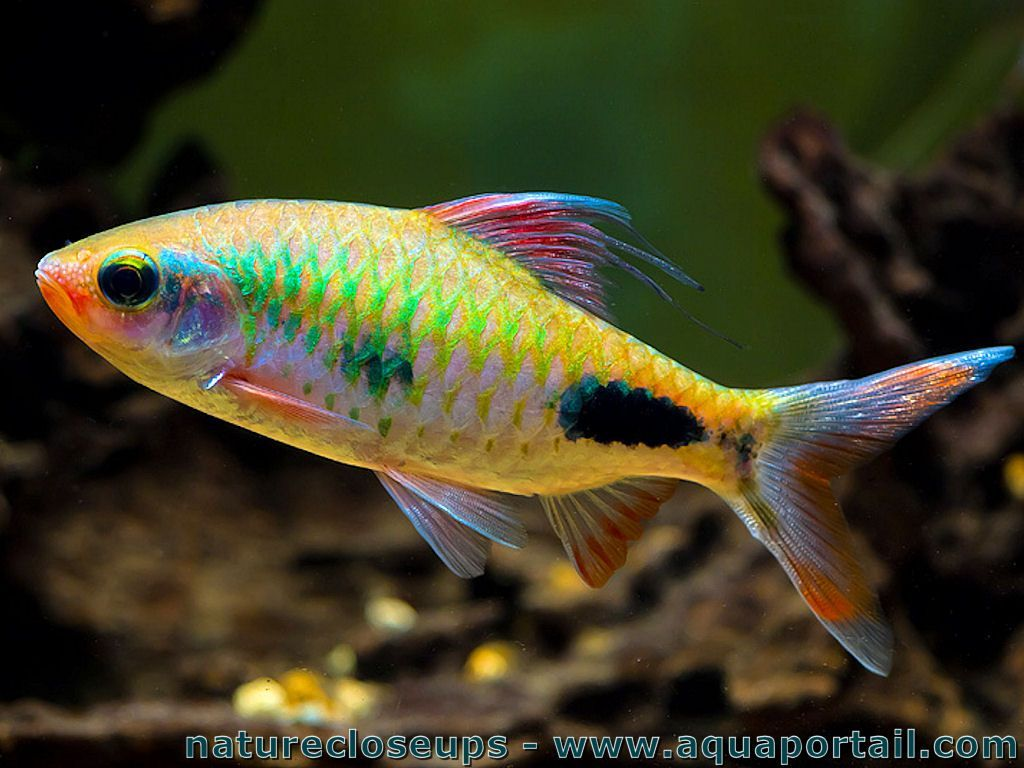 Dawkinsia exclamatio water fish and aquariums for Colorful freshwater aquarium fish