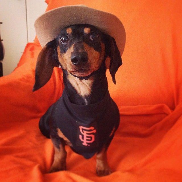 Dachshund Doxie Weinerdog Dogs Worldseries Baseball Royals