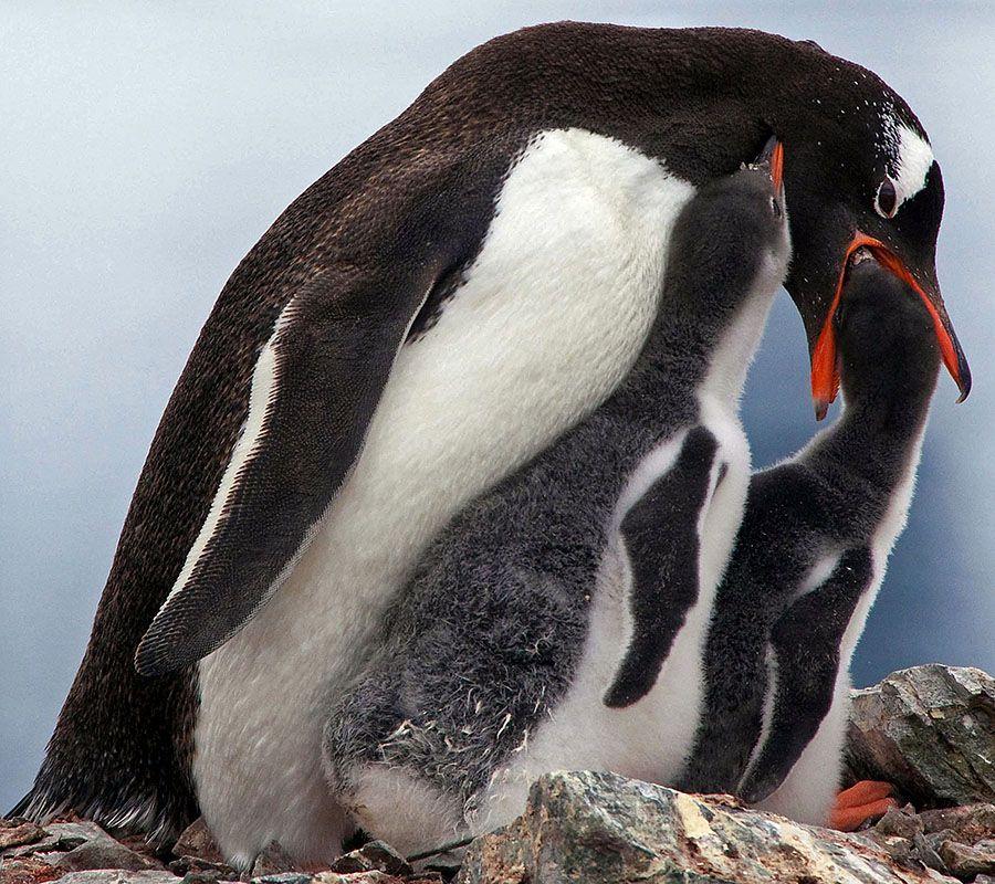 baby gentoo penguin chicks antarctica sequence 4