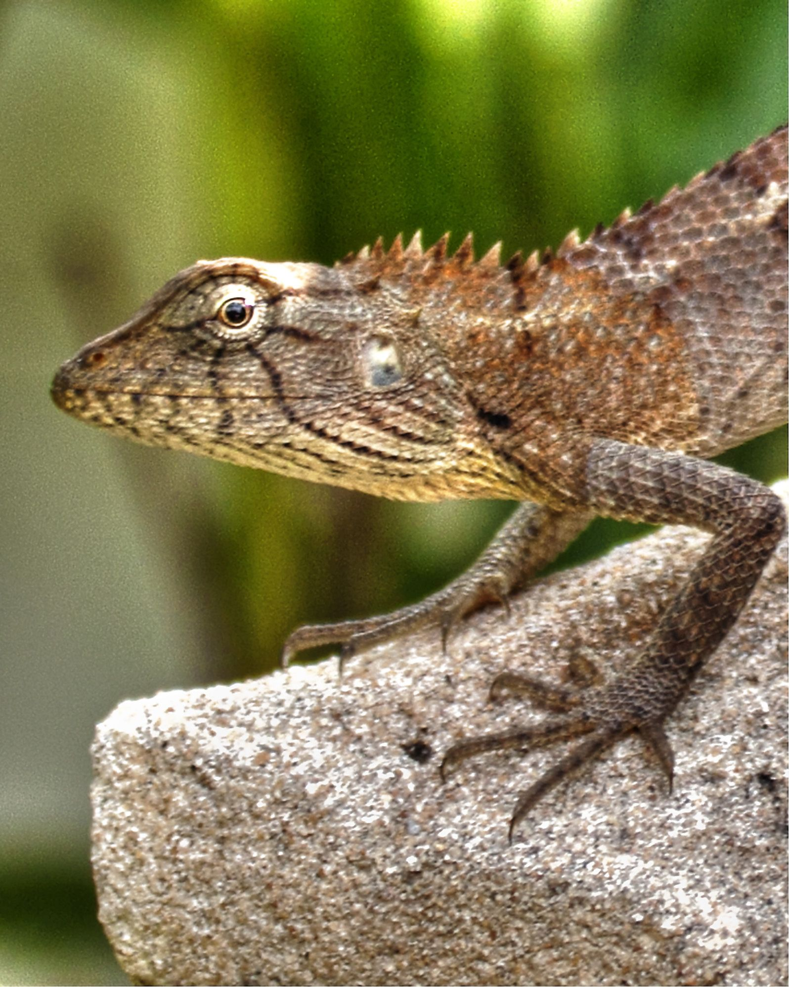 Lizard, a frequent visitor to my garden. | William Reid | Pinterest ...