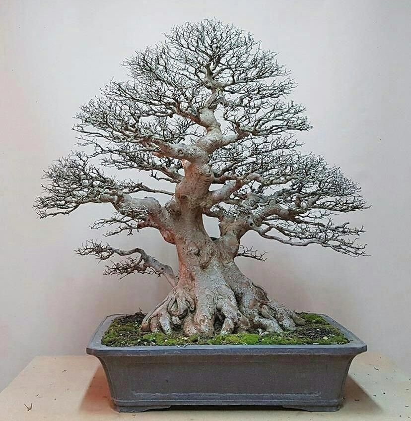 Bonsai Trees Guide for Beginners