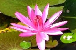 Bunga Teratai Salju Hebat Ulasan Detail Nya Ada Di Sini Bunga Teratai Bunga Gambar
