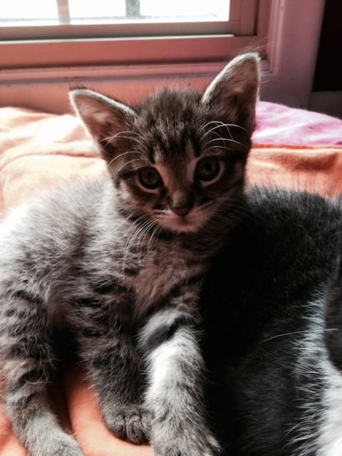 Adopt Joey On Grey Cats Animals Pet Adoption