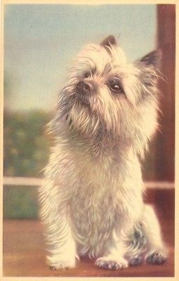 Vintage Cairn Terrier Postcard Pc Dog 1957 Mainzer Blank Back Belgium Cairn Terrier Terrier Dogs