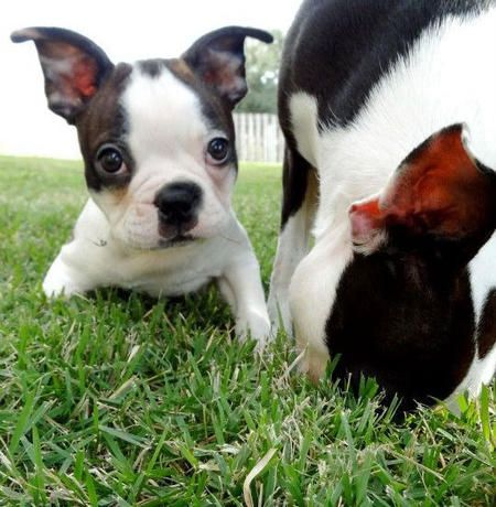 Helo The Boston Terrier Puppy What A Cute Guy Boston Terrier