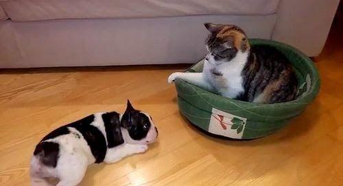 French Bulldog and cat | via French bulldog puppy vs. cat - YouTube ...