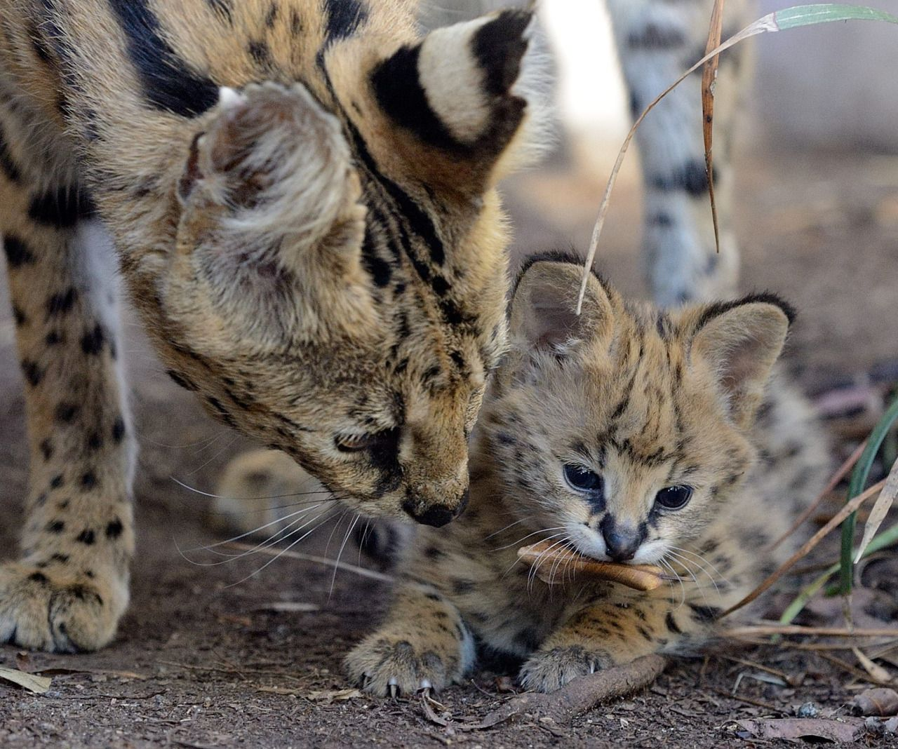 This Caturday is dedicated to our little serval man. Pics by Mike Wilson