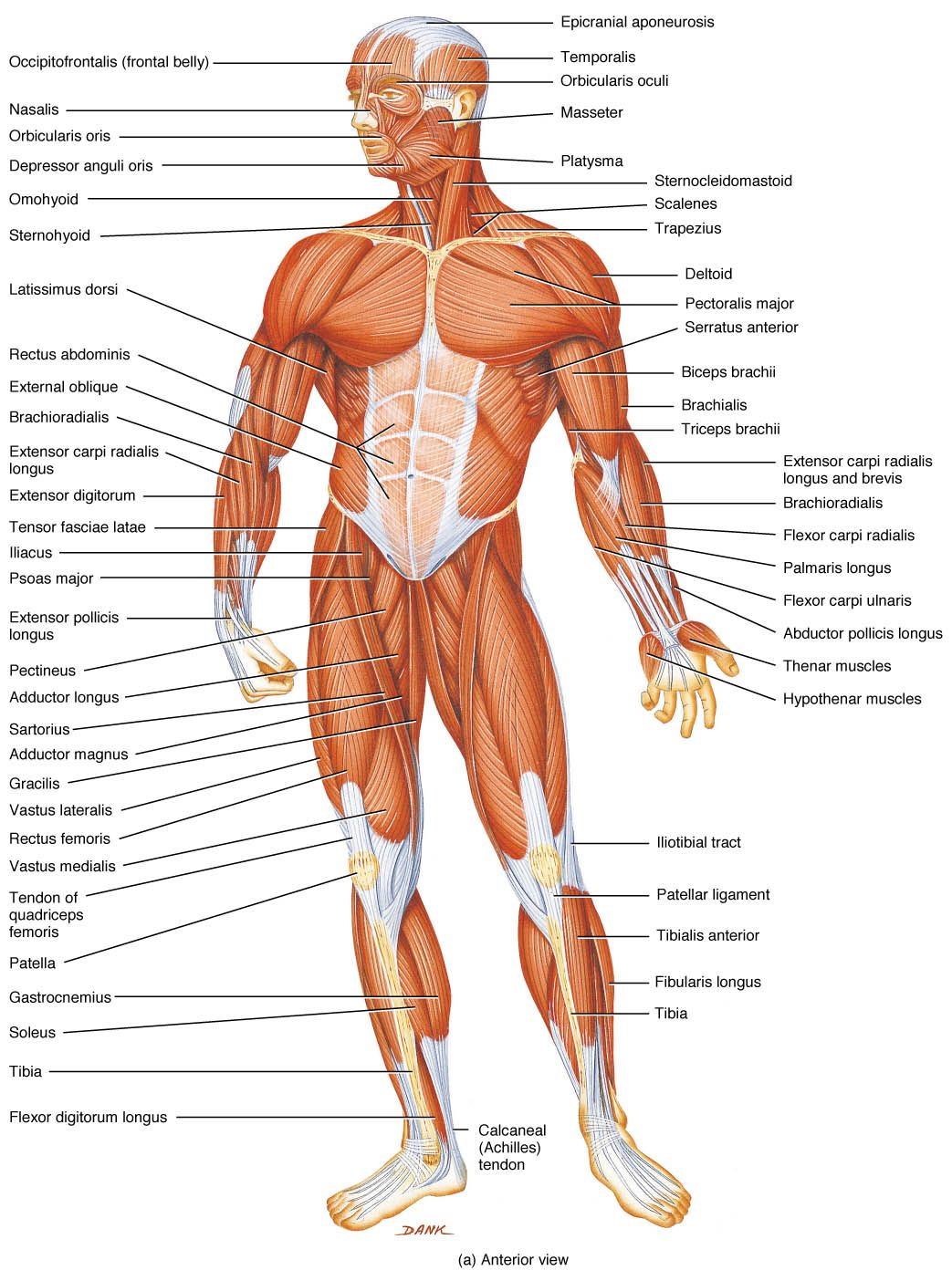 Location Of Muscles In The Human Body 1 2 Anatomy Pinterest
