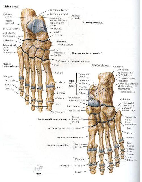 ASOTERCI - CASC: Miembro Inferior | anatomia : esqueleto humano ...