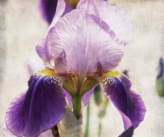 Hey, I found this really awesome Etsy listing at https://www.etsy.com/listing/216008754/paper-iris-shabby-chic-purple-iris