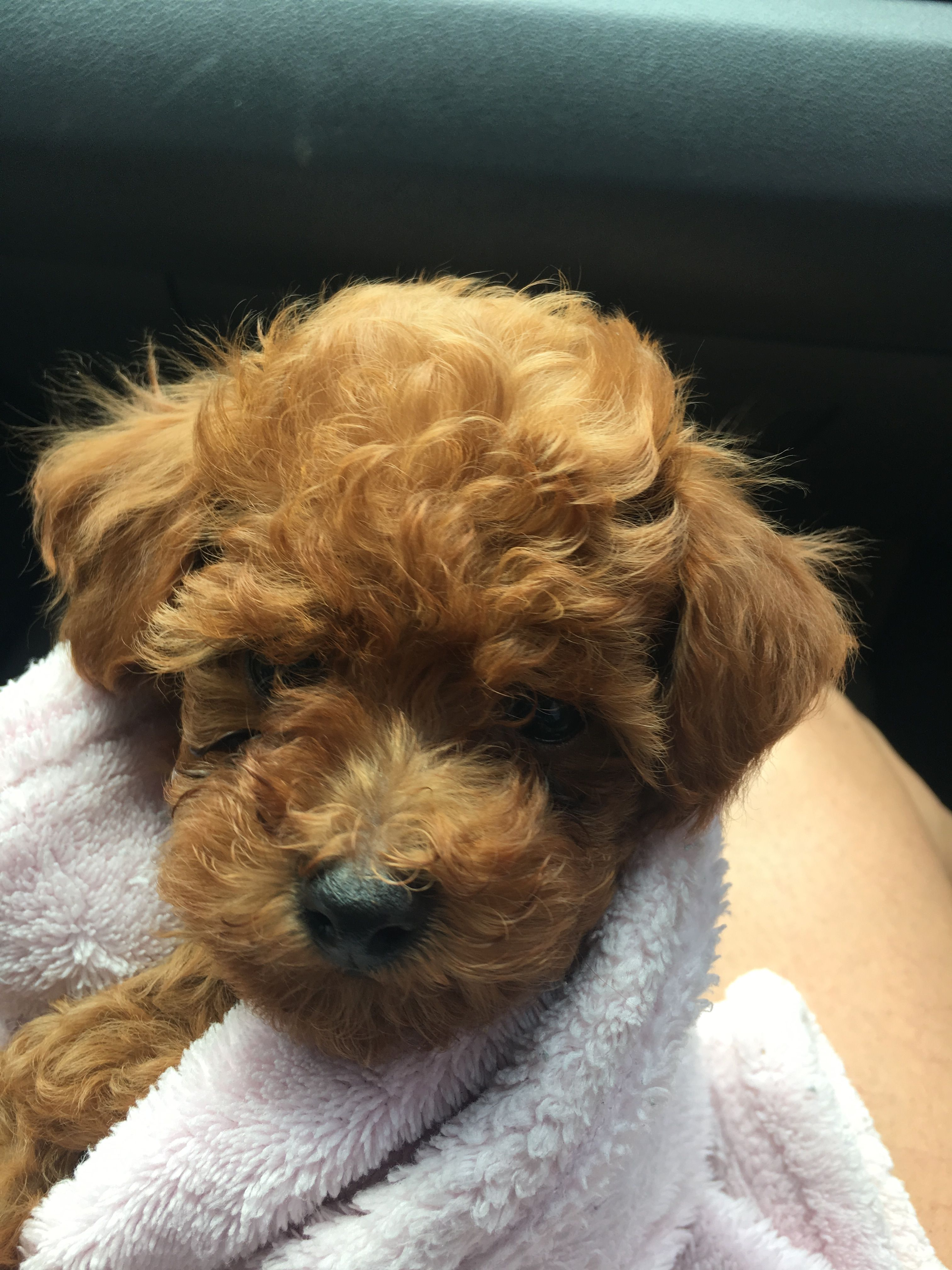 Pin by Liza F. Roman Alameda on Ozzy The Toy Poodle Red