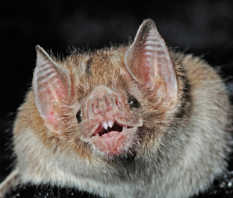 5 Amazing Animals That Start With The Letter V Animals Animals Beautiful Vampire Bat