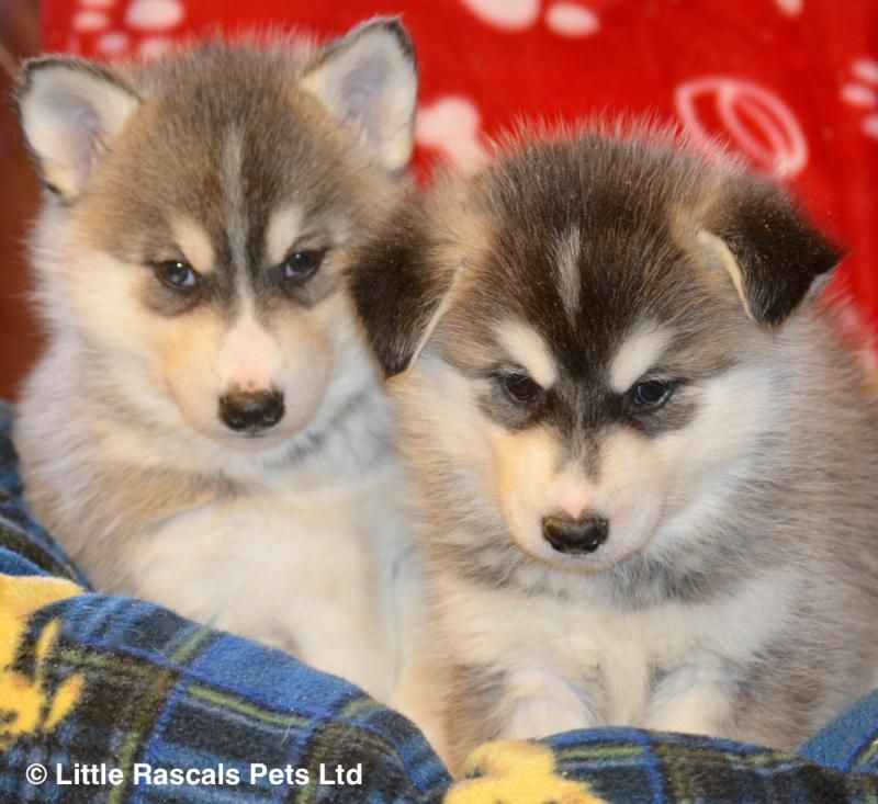 Cheap Husky Puppies For Sale Nj