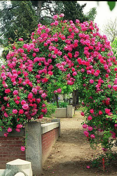 Roses In Garden: Climbing American Beauty Rose (one Of The Top 10 Easiest