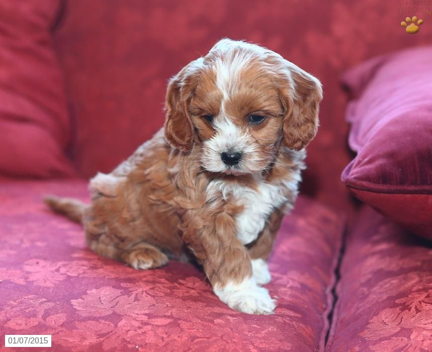 cavoodle dog full grown Google Search Cavoodle dog