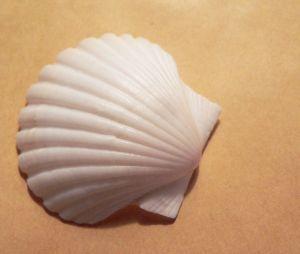 Resultado De Imagen Para Conchas De Mar Conchas Pinterest - Fotos-de-conchas-de-mar