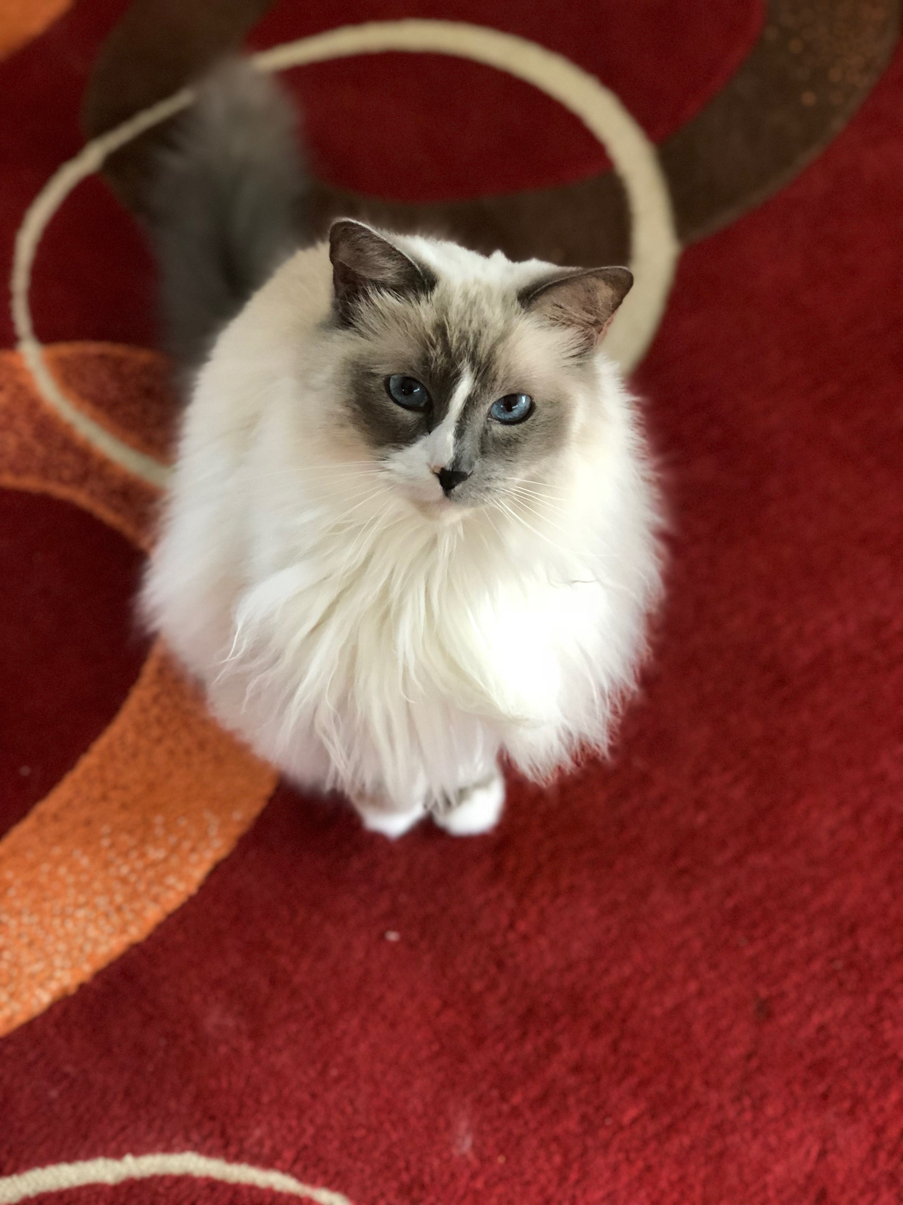 Pin By Sonja Van Beveren On Ragdolls Cats And Kittens Cat Rescue Animal Rescue