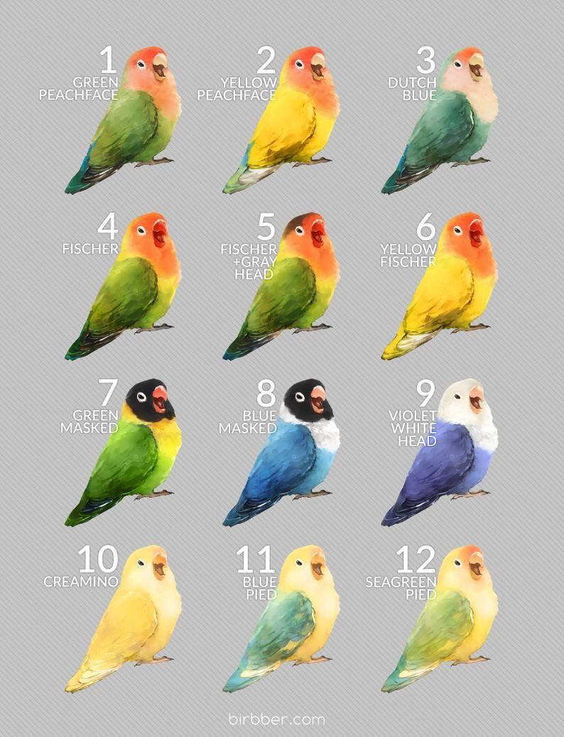 Lovebird Jantan Betina : lovebird, jantan, betina, Screaming, Lovebird, Birds, Breeds,