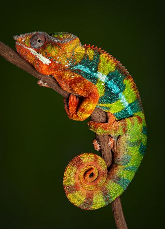 Mythical Monday The Colorful Chameleon By Mae Clair Colorful