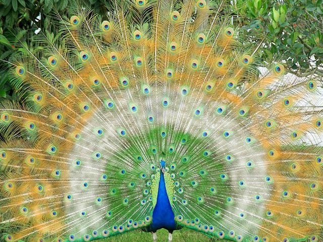 Beautiful And Amazing Peacock Wallpapers For Desktop Peacock Pictures Peacock Wallpaper Peacock Images