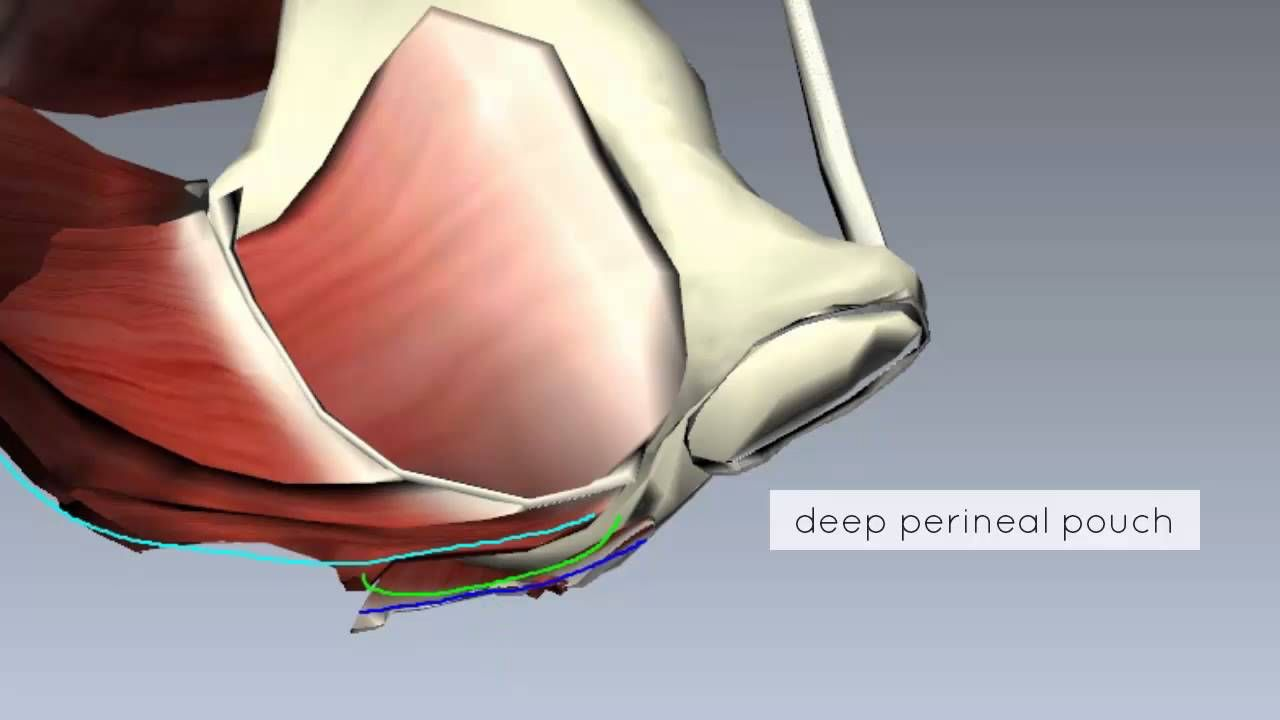 Pelvic Floor Part 2 - Perineal Membrane and Deep Perineal Pouch - 3D ...