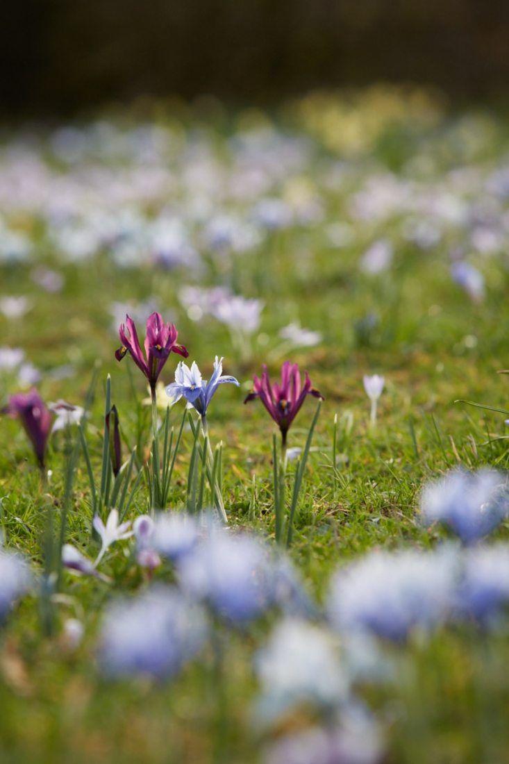 October To Do Plant Dwarf Iris For Fuss Free Flowers Dwarf Iris