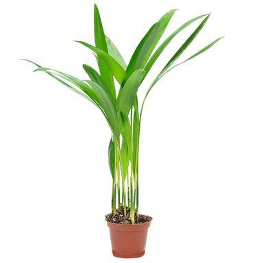 Palma Lutescens 20 Cm Kwiaty Doniczkowe W Atrakcyjnej Cenie W Sklepach Leroy Merlin Plants