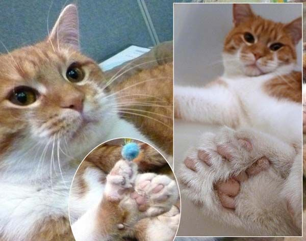 Polydactyl Cats This 9 Month Old Cat Has 20 Toes Just Shy Of