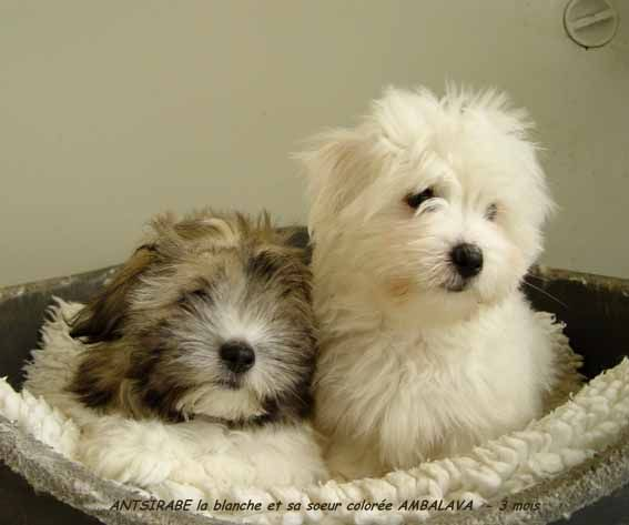 Three Month Old Coton Puppies From Cartoonland In Lainville En
