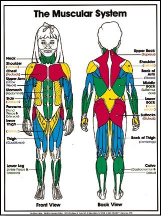 Muscular System For Kids Olivier Nigaba Unit 2 Pinterest