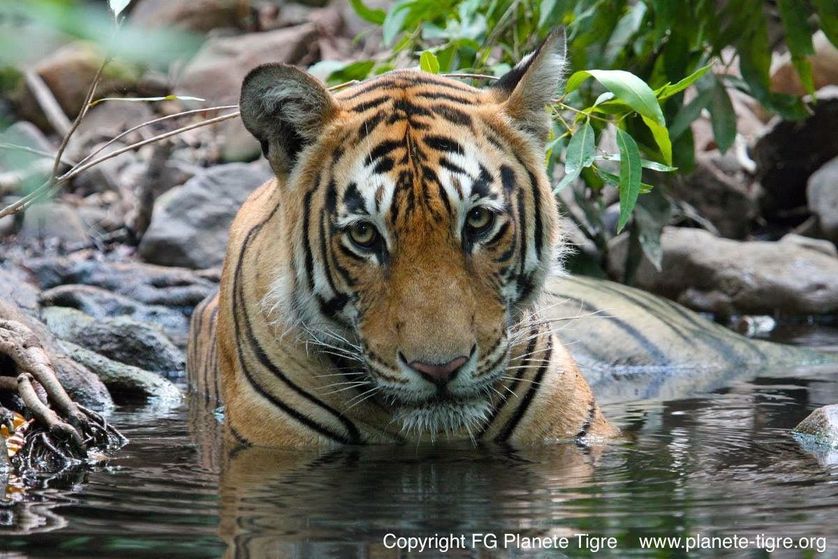 Pin by Charmaine on Animals Big cats, Cat species, Tiger