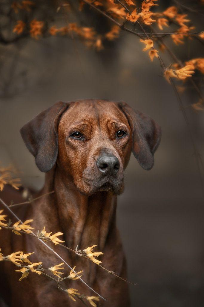 Top Rhodesian Ridgeback Brown Adorable Dog - c7f17b48b0c7e60586755abc26340c33  2018_396660  .jpg