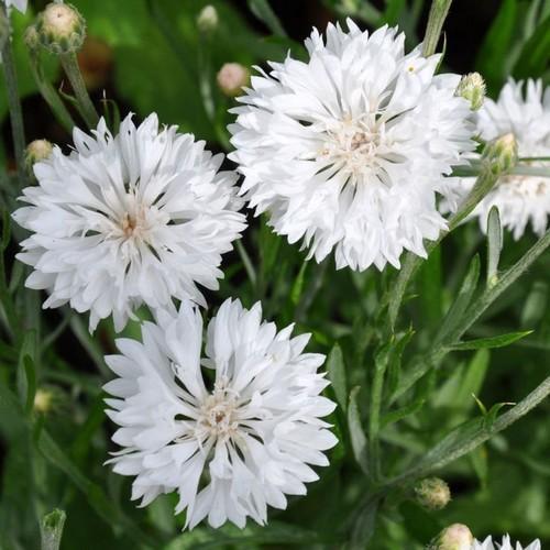 Cornflower White Centaurea Cyanus Dwarf Tom Pouce 50 Seeds Flores