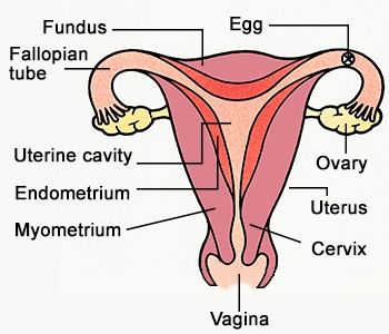 female genital organs chart anatomy chart female reproductive  : female genitalia diagram - findchart.co