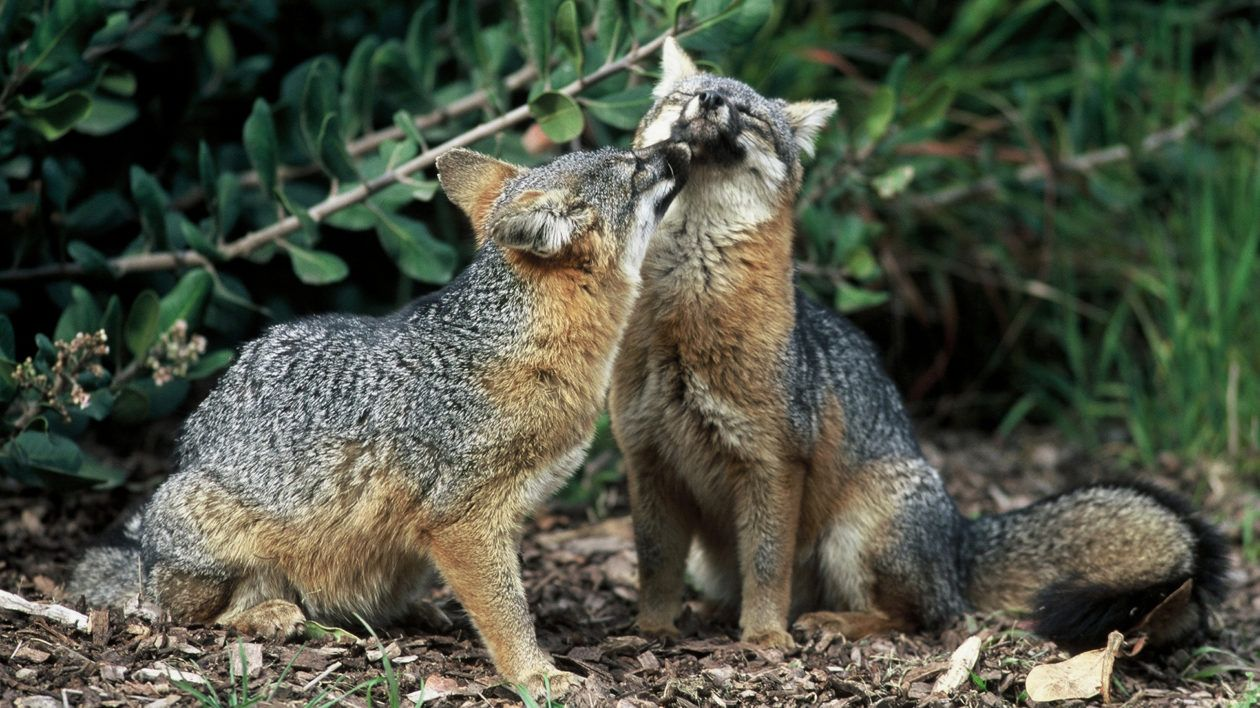 Recovery: America's Dwarf Fox Gets a Second Chance   Photo © Chuck Graham, courtesy of the National Park Service